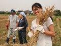 小麦栽培[収穫編]