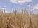 小麦とともに成長していく [収穫編]