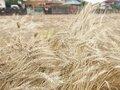 今年も小麦収穫に行ってきました